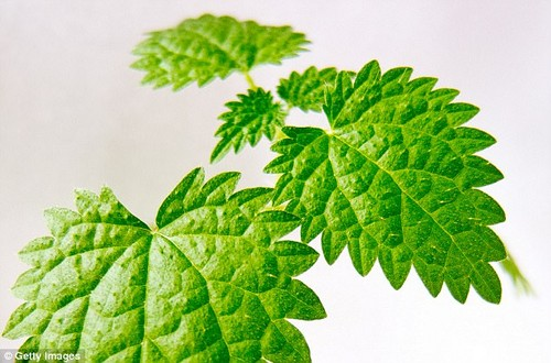 The nettle, commonly known as the stinging nettle, is good for treating exhaustion or fatigue