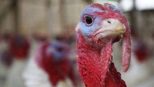 A turkey looks around its enclosure at Seven Acres Farm in North Reading, Massachusetts November 25, 2014, two days before the Thanksgiving holiday in the United States. Paul Pagliozzi is the second generation owner of the farm his father started in 1938. REUTERS/Brian Snyder (UNITED STATES - Tags: SOCIETY ANIMALS) - GM1EABQ07U001