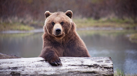 Man vs wild: Bear steals Siberian hunter's 2 guns from his cabin
