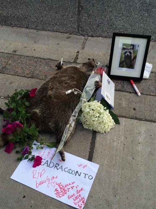 In dark times, we need heroes – this one is a raccoon | Hannah Jane Parkinson