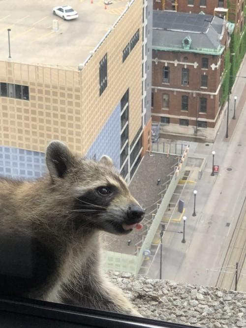 Raccoon released into wild after successful skyscraper climb