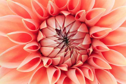 2019 Pantone Living Coral Flower Macro