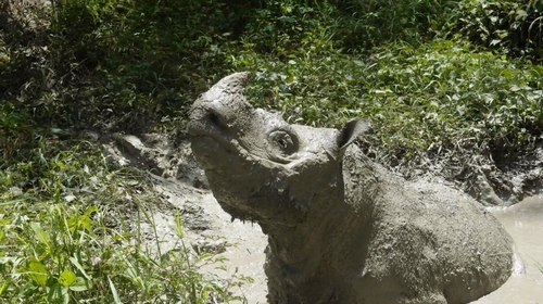 Malaysia mourns 'loss of a species' as male Sumatran rhino dies