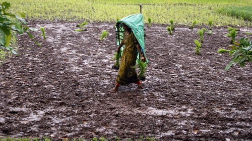 A farmer wearing a plastic sheet to protect herself from rain, carries saplings to a paddy field on the outskirts of Saputara hill station, about 400 km (249 miles) south from the western Indian city