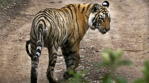 India's tiger population jumps to almost 3,000: census